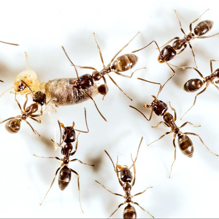 Πως να διωξω τα μυρμήγκια φυσικα